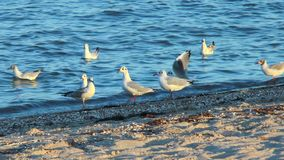 Gulls on the beach in search of food stock video