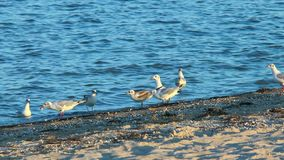 Gulls on the beach in search of food stock video footage
