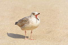 Gulls Birdling on the Sand Stock Image