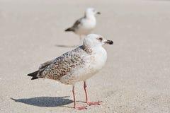 Gulls Birdlings on the Sand Stock Image