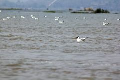 Gulls are birds with medium to large. royalty free stock images