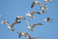 Gulls in a blue sky. A lot of gulls in a blue sky stock photography