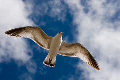 Gulls and Blue Sky. A gull spreads her wings and floats above the warm California coast Royalty Free Stock Photo