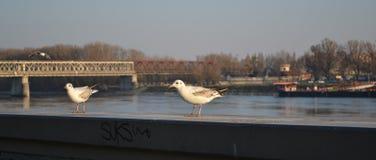 Gulls in Bratislava Stock Photo