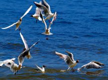 Gulls. Stock Photo