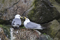 Gulls during breeding Stock Photo