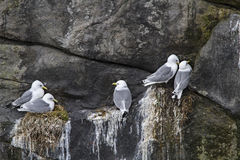 Gulls during breeding Royalty Free Stock Photography
