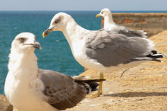Gulls of Cadiz. Gulls on the sea wall in Cadiz, Spain Royalty Free Stock Photography