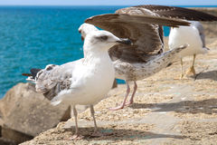 Gulls of Cadiz. Gulls on the sea wall in Cadiz, Spain Stock Photography