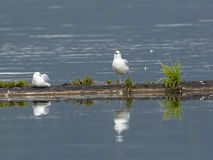 Gulls cast reflection in water. Royalty Free Stock Photo