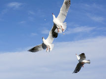 A gulls catches bread Royalty Free Stock Photo