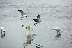 Gulls chasing an ibis with a crayfish in its bill, Florida. Gulls harassing a white ibis, Eudocimus alba, holding a crayfish in its bill in St. Joseph Sound at Stock Photo