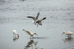 Gulls chasing an ibis with a crayfish in its bill, Florida. Gulls harassing a white ibis, Eudocimus alba, holding a crayfish in its bill in St. Joseph Sound at Stock Photography