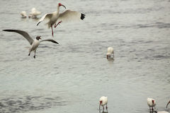 Gulls chasing an ibis with a fish in its bill, Florida. Royalty Free Stock Photos