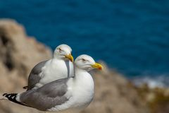 Gulls at coastline royalty free stock images