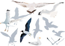 Gulls collection on white Stock Image