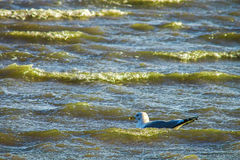 Gulls cormorants fly over raging blue sea, storm background Stock Photography