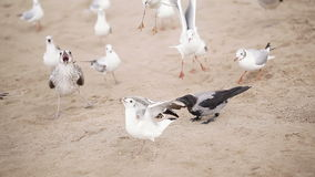 Gulls and crows on beach Royalty Free Stock Image