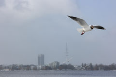 Gulls in downtown of Hamburg Royalty Free Stock Images