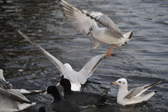 Gulls and ducks Stock Images