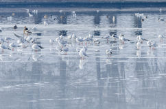 Gulls and ducks on icy lake Royalty Free Stock Photography