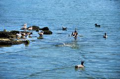 Gulls and ducks Royalty Free Stock Photography