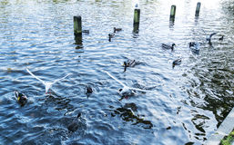 Gulls and ducks swimming Royalty Free Stock Photography