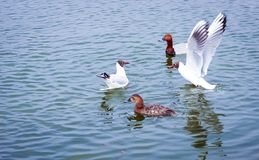 Gulls and ducks on the water stock images