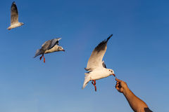 Gulls eating food from hand Royalty Free Stock Photo
