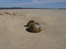 Gulls eggs stock images