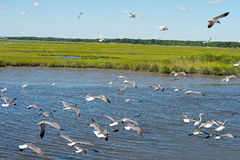 Gulls, Egrets and Heron Royalty Free Stock Images