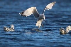 Gulls Feeding on a Winter Lake stock photography