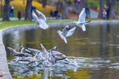Gulls fight for food Royalty Free Stock Images
