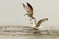 Gulls fighting for fishing spot Royalty Free Stock Images