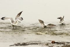 Gulls fighting on fishing spot Stock Photo