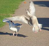 Gulls fighting for food Stock Photos