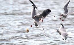 Gulls fighting for food Stock Photo