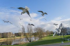 Gulls are fighting for food and snatch prey from each other on the fly. Royalty Free Stock Photography
