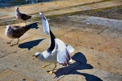 Gulls Stock Image
