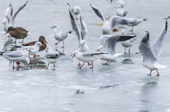 Gulls Fighting Over Food Stock Image