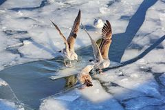 Gulls find out the relationship between themselves royalty free stock images