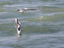 Gulls on fishing. Three large seagulls hunt fish in the Black Sea and wiggle their wings Royalty Free Stock Image
