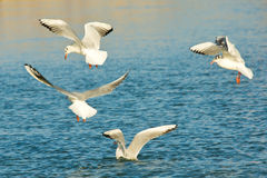 Gulls in flight Royalty Free Stock Photos