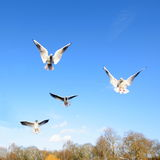 Gulls in flight Stock Photos