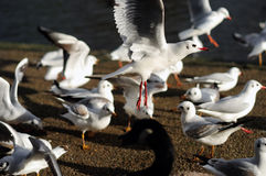 Gulls In Flight Stock Images