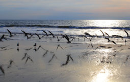 Gulls in flight on the beach at sunrise Stock Photos
