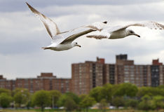 Gulls in flight over city Royalty Free Stock Photo