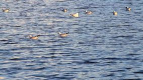 Gulls floating in blue water stock video