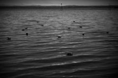 Gulls floating on the lake at sunset. Beautiful sunset in December royalty free stock image