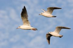 Gulls flying Royalty Free Stock Image